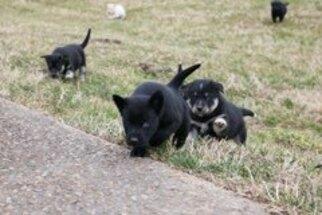 Labrador Retriever-Siberian Husky Mix Puppy for Sale in WOODFORD, Virginia USA
