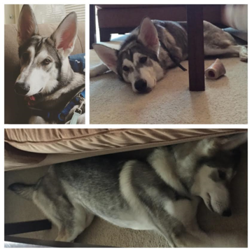 Northern Inuit Dog For Sale Ireland