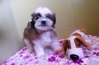 Mal-Shi Puppy For Sale in PATERSON, NJ, USA