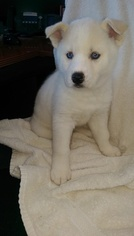 Siberian Husky Puppy For Sale in ELLENDALE, MN, USA
