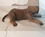 Small #18 Mastiff