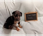 Puppy 3 Catahoula Leopard Dog