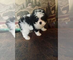 Maltipoo Dog for Adoption in MOUNT CLEMENS, Michigan USA