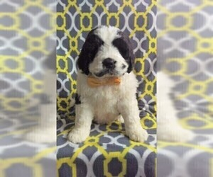 Saint Berdoodle Puppy for sale in LANCASTER, PA, USA