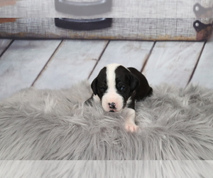 Great Dane Puppy for Sale in WILLIAMSBURG, Virginia USA