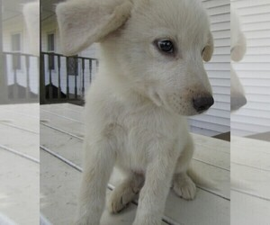 Great Pyrenees Puppy for sale in HUDSON, MI, USA