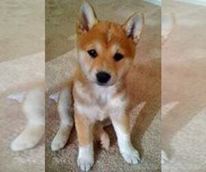 Shiba Inu Puppy for sale in FORT WAYNE, IN, USA