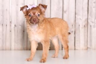 View Ad Chihuahua Puppy For Sale Ohio Mount Vernon Usa