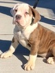 Bulldog Puppy For Sale in CHELSEA, MA, USA
