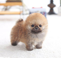 Pomeranian Puppy For Sale in NEW YORK, NY, USA