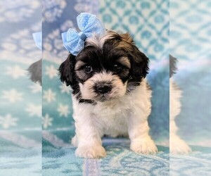 Zuchon Puppy for sale in LANCASTER, PA, USA