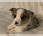 Puppy 4 Aussie-Corgi