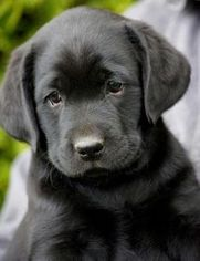 View Ad Labrador Retriever Litter Of Puppies For Sale Near Illinois