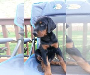 Doberman Pinscher Puppy for Sale in AFTON, Iowa USA