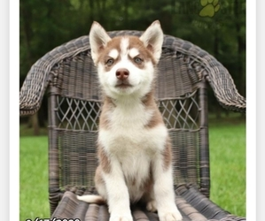 Siberian Husky Puppy for sale in BOWIE, MD, USA
