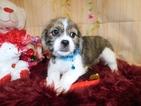Small Beagle