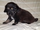 Tibetan Mastiff Puppy For Sale in MIDDLEFIELD, OH, USA