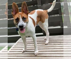 Australian Cattle Dog-German Shepherd Dog Mix Dog for Adoption in SAN DIEGO, California USA