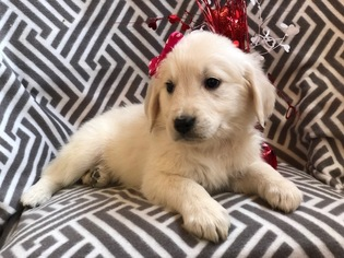 English Cream Golden Retriever Puppy for sale in CEDAR LANE, PA, USA