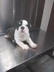 Bulldog Puppy For Sale in BOSTON, MA, USA