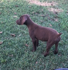 German Shorthaired Pointer Puppy For Sale in COALGATE, OK, USA