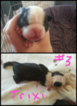 Boston Terrier Puppy For Sale in DELTA, CO, USA
