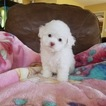 Maltipoo Puppy For Sale in LOS ANGELES, CA, USA