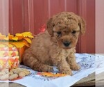 Small Photo #1 Poodle (Miniature) Puppy For Sale in WOODWARD, PA, USA