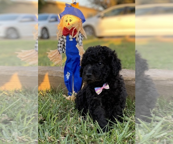 Medium Photo #4 Poodle (Standard) Puppy For Sale in HANFORD, CA, USA