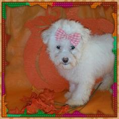 Maltipoo Puppy For Sale in TAYLOR, TX, USA