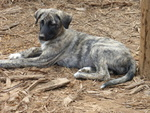 Anatolian Shepherd Puppy For Sale in STUART, VA