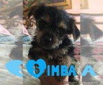 Puppy 2 Morkie-Yorkshire Terrier Mix