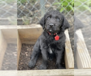 Labradoodle Puppy for sale in CANTON, OH, USA