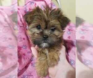 Shorkie Tzu Puppy for Sale in KENDALL, Wisconsin USA