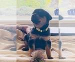 Puppy 8 Rottweiler