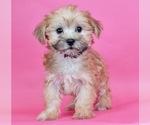 Puppy 11 Morkie