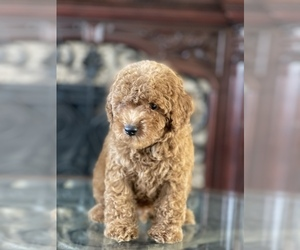 Poodle (Toy) Puppy for Sale in TAMPA, Florida USA