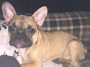 French Bulldog Puppy For Sale in LAKE, MI