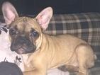 French Bulldog Puppy For Sale in LAKE, MI