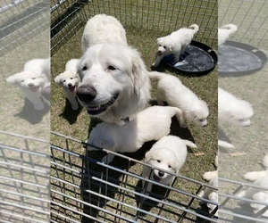 Great Pyrenees Puppy for sale in MYAKKA CITY, FL, USA
