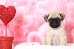 Pug Puppy For Sale in BEL AIR, Maryland,