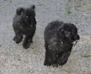 Bouvier Des Flandres Puppy For Sale in AMBOY, WA, USA