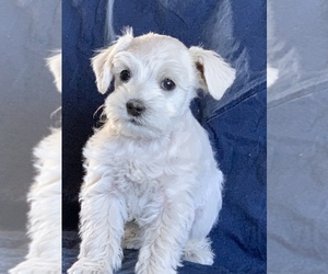 Schnauzer (Miniature) Dog for Adoption in FOWLER, Colorado USA