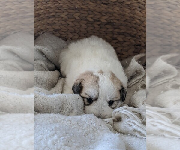 Medium Photo #95 Great Pyrenees Puppy For Sale in FALCON, CO, USA