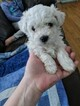 Bichon Frise Puppy For Sale in NORTH BRANCH, MN, USA