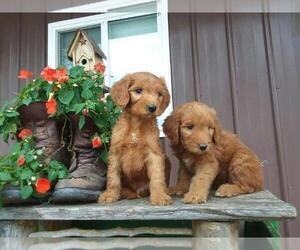 Goldendoodle-Unknown Mix Puppy for sale in CHICAGO, IL, USA