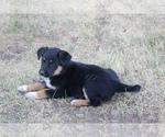 Puppy 7 Australian Cattle Dog-German Shepherd Dog Mix
