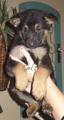 German Shepherd Dog Puppy For Sale in PIERCE CITY, MO, USA