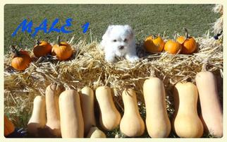 Maltese Puppy For Sale in JACKSON, KY