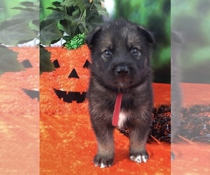 German Shepherd Dog-Siberian Husky Mix Puppy for Sale in LAKELAND, Florida USA